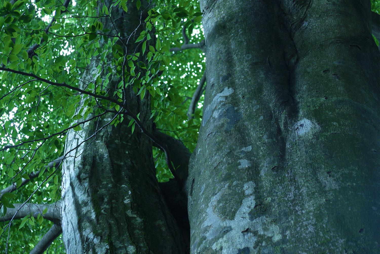 夏の能勢妙見山ブナ林
