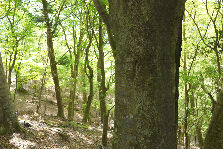 春の能勢妙見山ブナ林