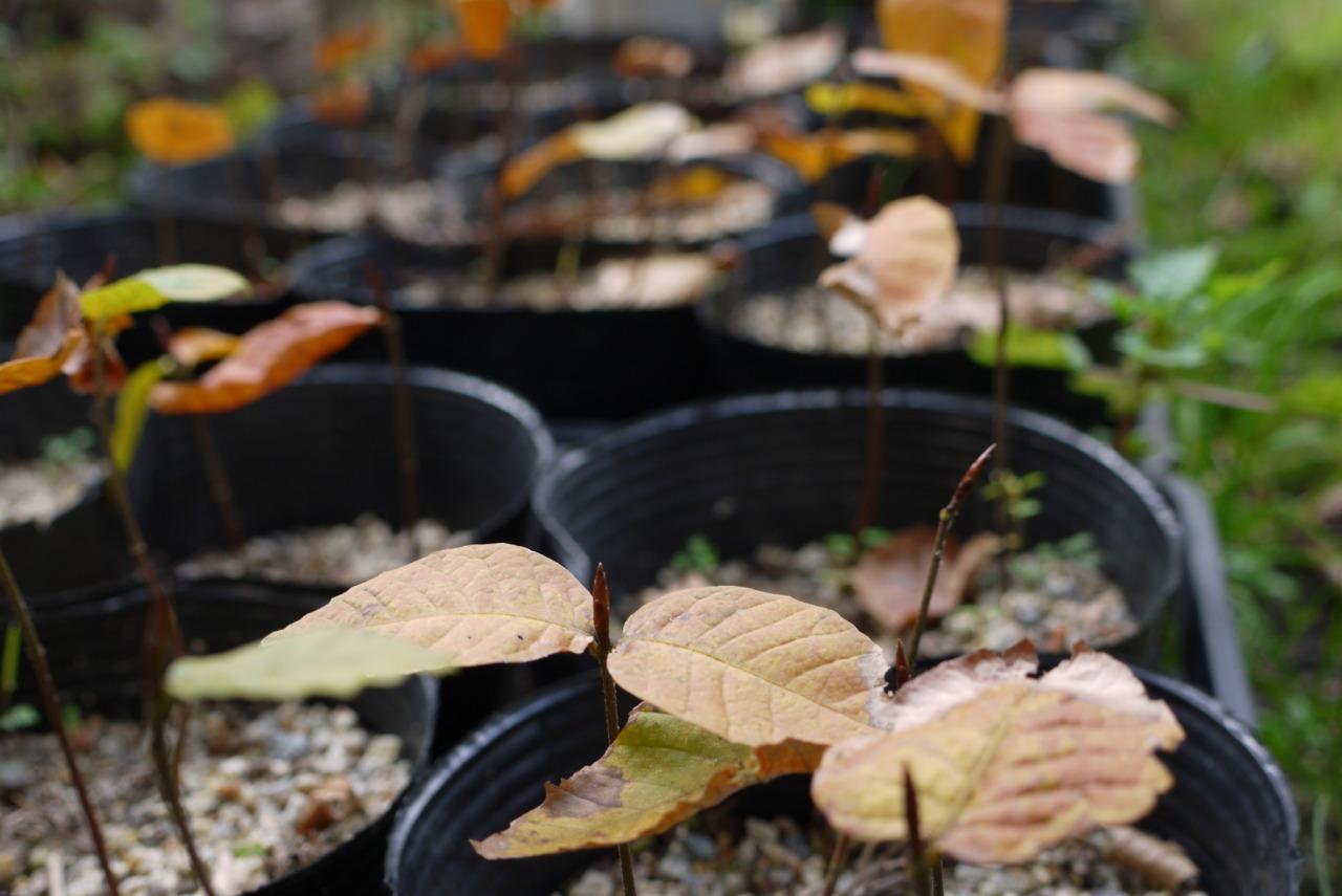 ブナの葉も飴色