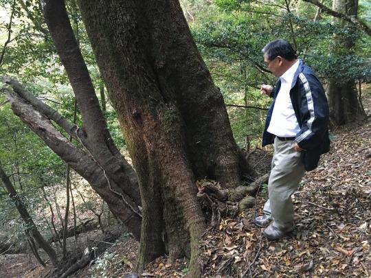 大阪府初!巨木エドヒガンを発見。