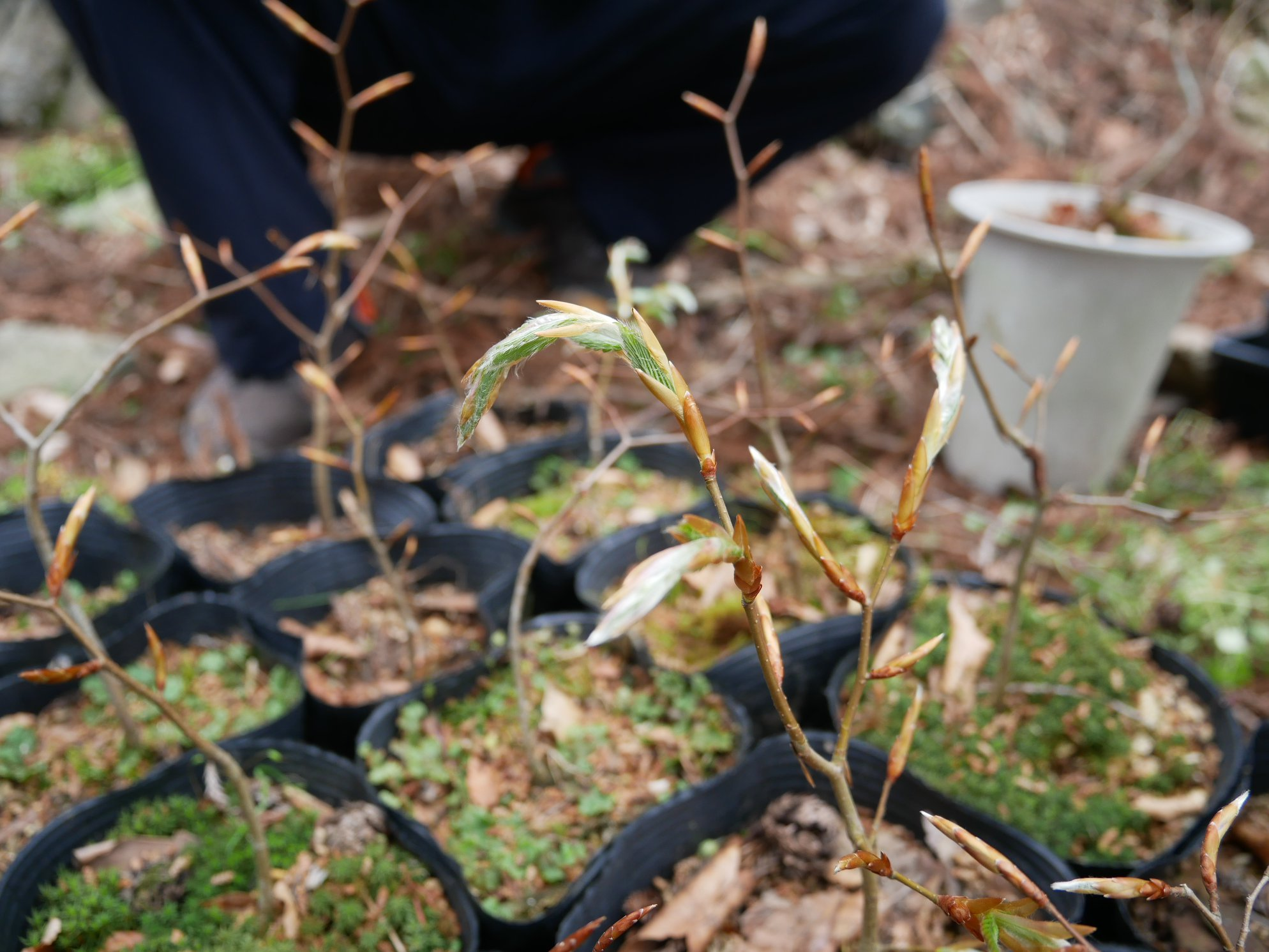 芽吹いてきたブナの新芽