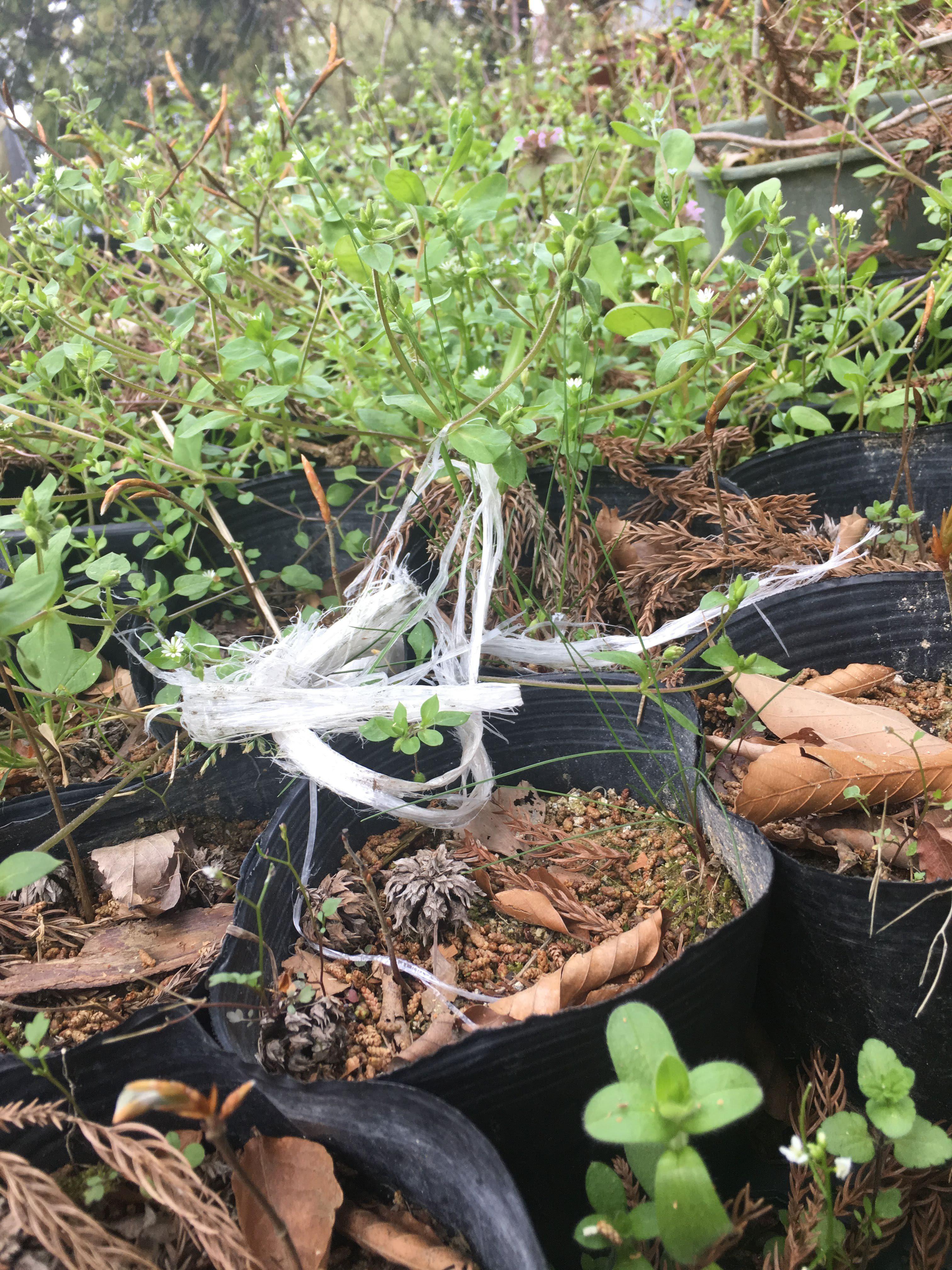 雑草で一杯のブナ苗のポット