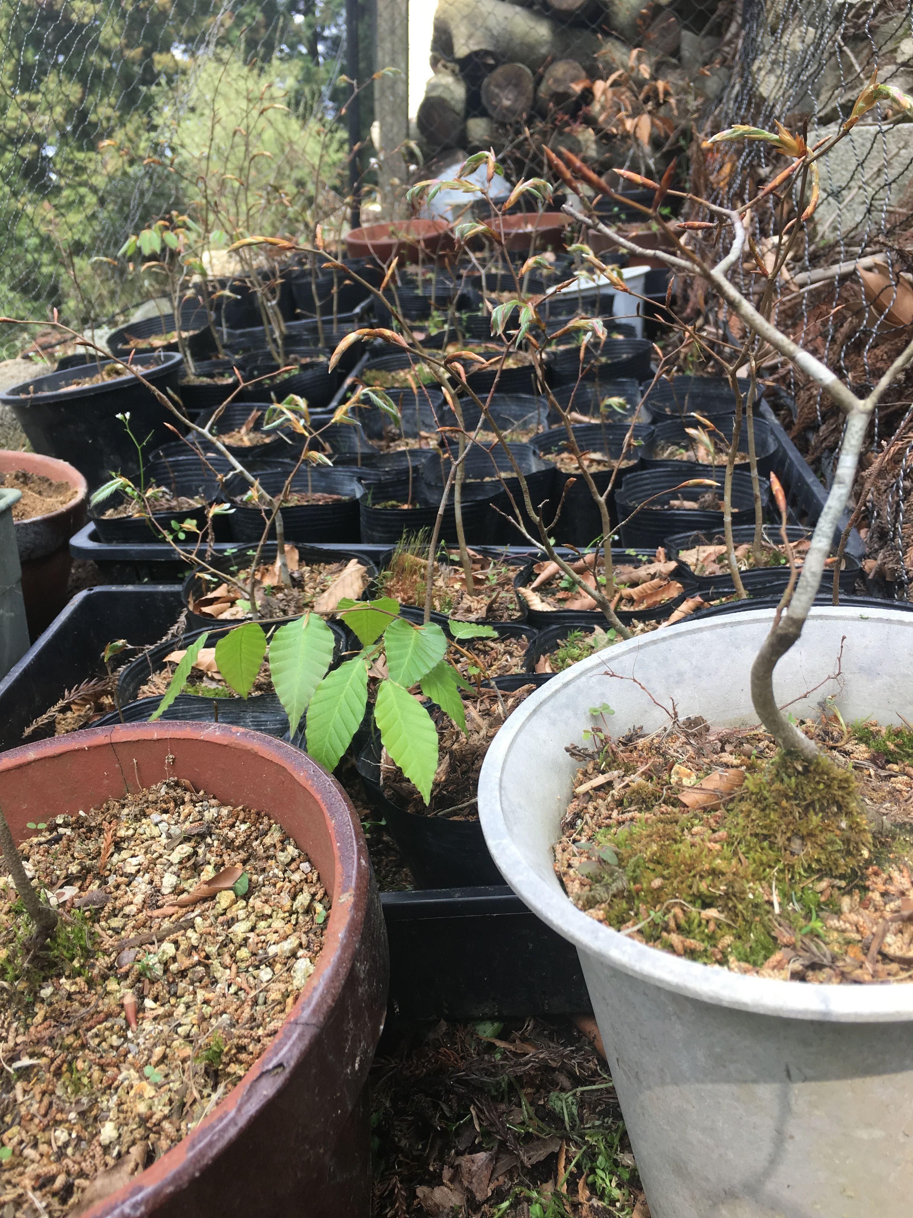 雑草が無くなってスッキリしたブナの苗